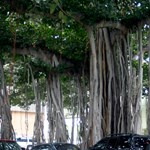 Strange trees at Iolani Palace