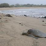 Turtle on the Honokohau beach