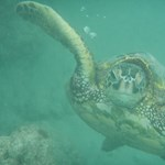 Hawaiian Green Turtle