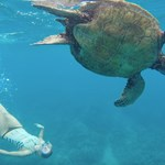 Flipping out! Upside down and side over side, we had so much fun swimming with our friends the Hawaiian Green Sea Turtles during a recent Adventure Tour.