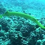 Tube Fish