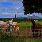 Koloa Horses - December 2006