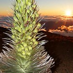 Silversword Plant at Sunset