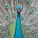 Peacock wildlife around the Byodo-In Temple