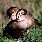 Maui's State Bird, The Nene
