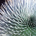 Silversword Plant Close Up