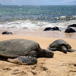 Turtles on the beach, Mokulua,Hawaii