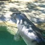Monk seal at Waikiki Aquarium