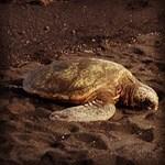 Sea Turtle at Punalu'u Black Sand Beach