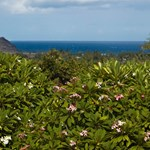 View over the blooming Plumeria Trees toward the ocean, from Koko Head Botanical Gardens