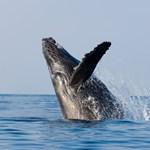 whale breaching off Kauai coast