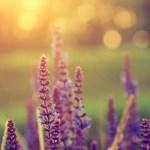 Visit the Lavender Farm
