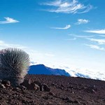 Silversword Plant on Volcano Mountain Side
